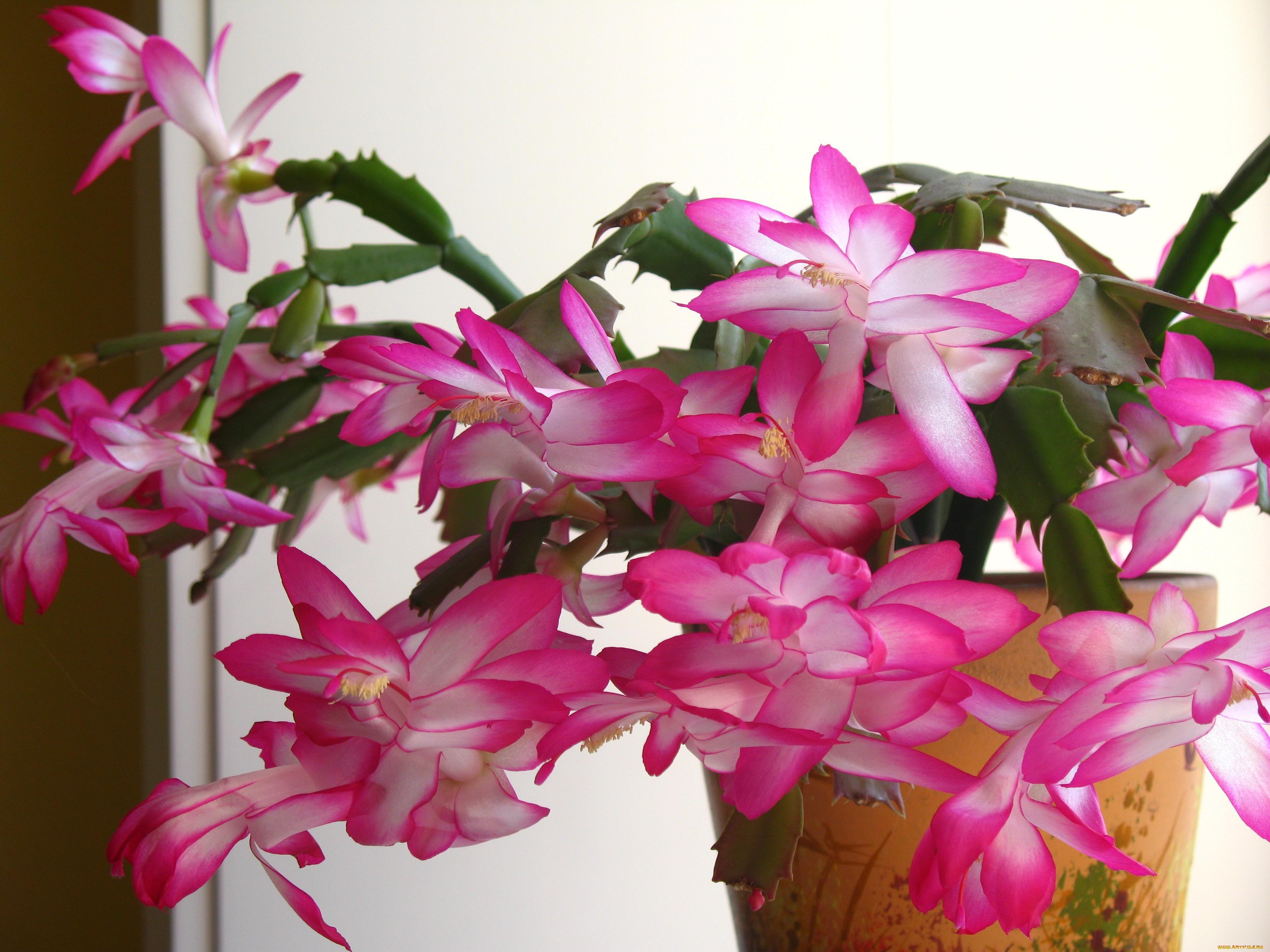 Эдельвейс цветок фото запах чего